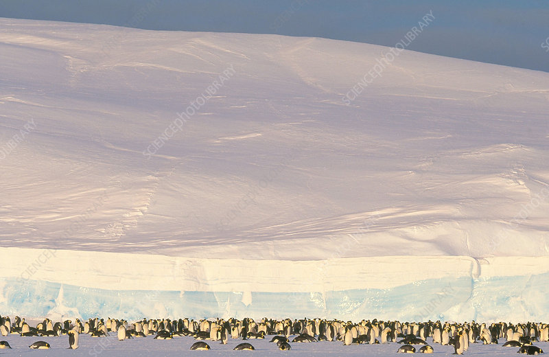 Emperor Penguin Colony