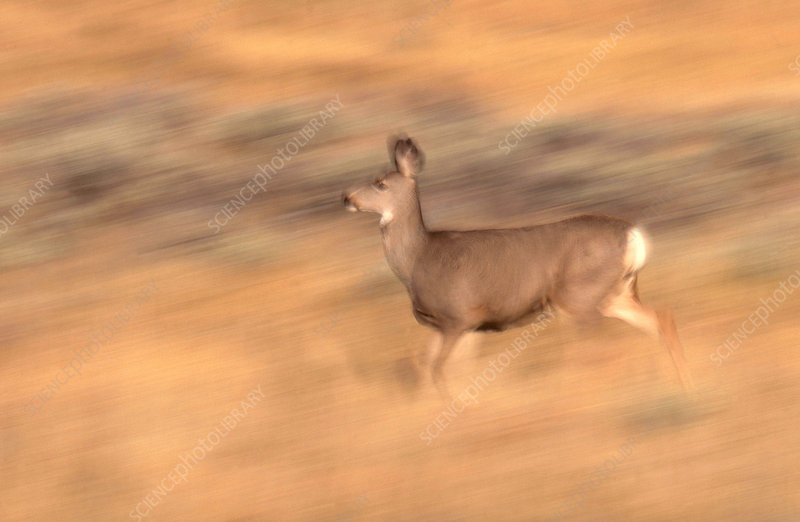 Blacktail or Mule Deer running