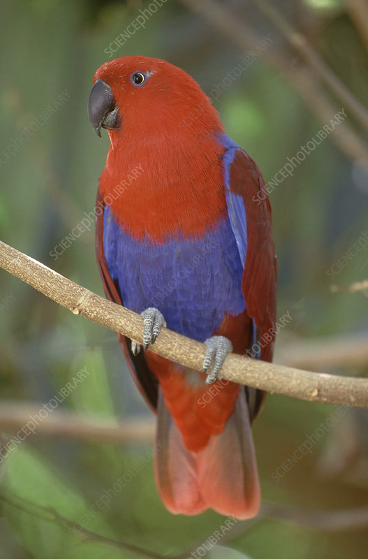 Red-sided Eclectus Parrot, Australia