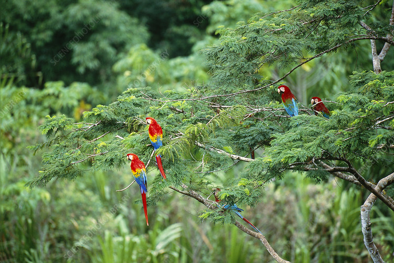 Scarlet and Green Winged Macaws