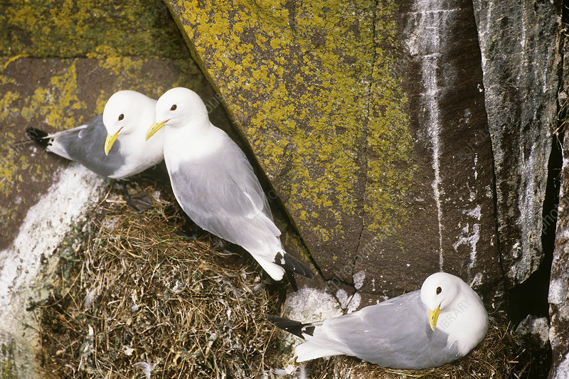 Black-legged Kittiwakes at nest site
