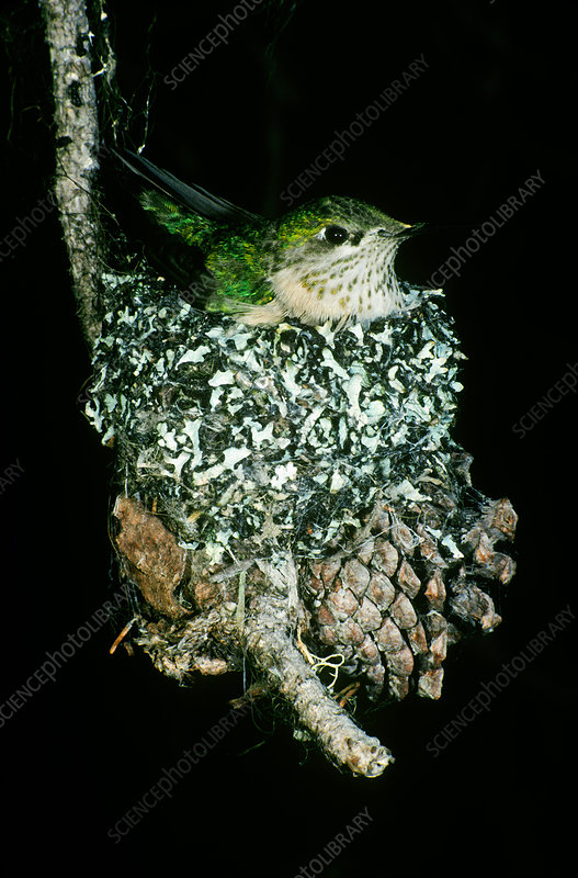 Calliope Hummingbird in Nest