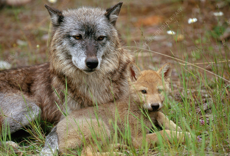 Gray Wolf with pup