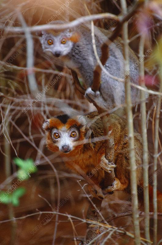 Crowned lemurs, Madagascar