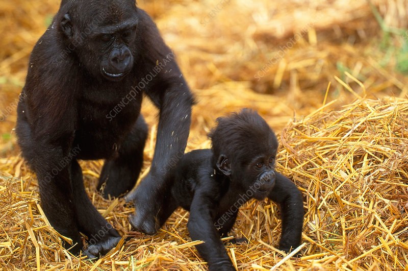 Juvenile and Baby Lowland Gorillas