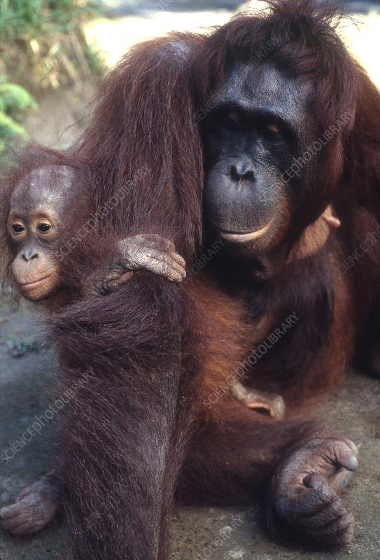 Wild Orangutan with Baby