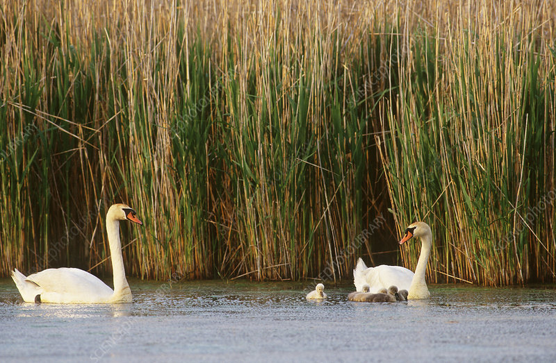 Mute Swans (Cygnus olor) with young