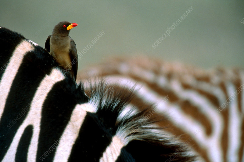 Oxpecker on Zebra