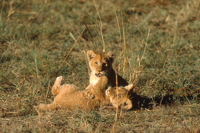 African Lion cubs (Panthera leo) playing