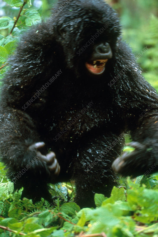 Angry Mountain Gorilla