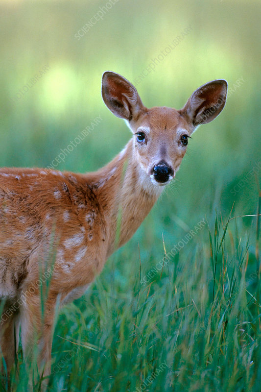 White-tailed Deer (Odocoileus virginianus