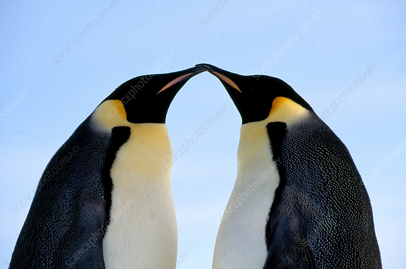 Emperor Penguins touching beaks