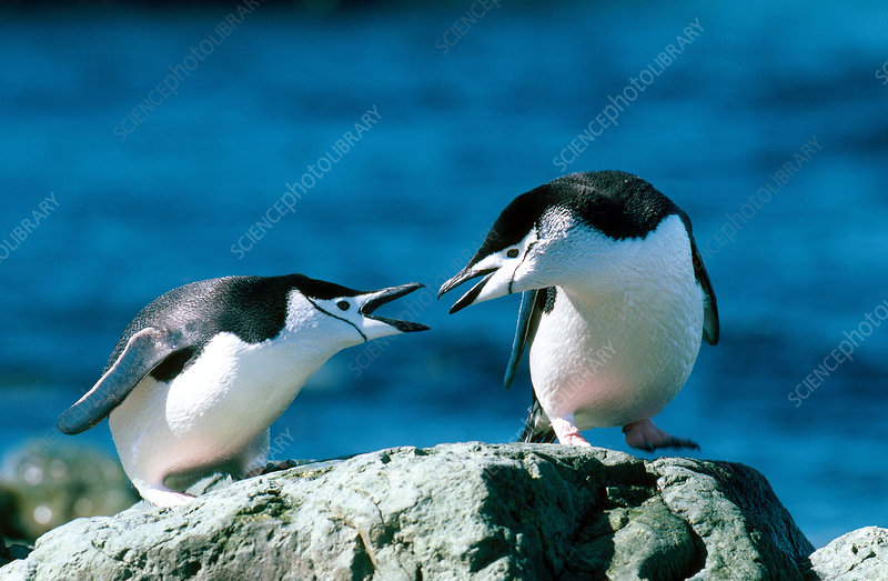 Chinstrap Penguins interacting