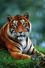 Indian Tiger (Panthera tigris tigris)