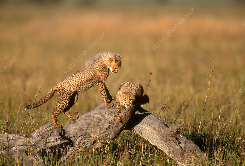 Five-month-old Cheetah cubs