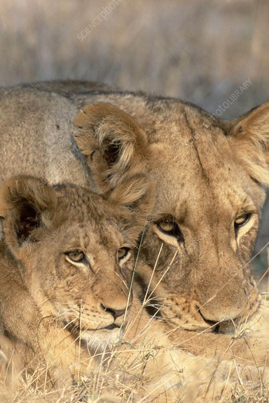 African Lion and cub (Panthera leo)