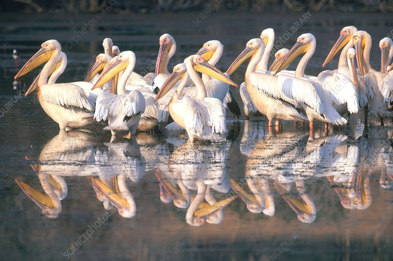 White Pelicans in South Africa