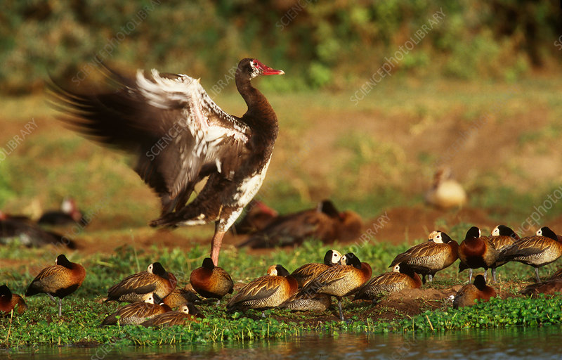 Gambian Spur-Winged Geese