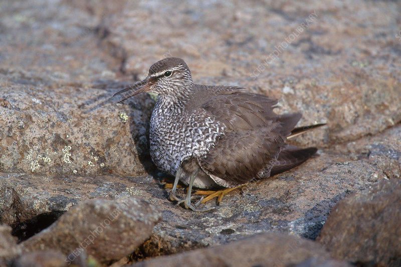 Wandering Tattler with Chick