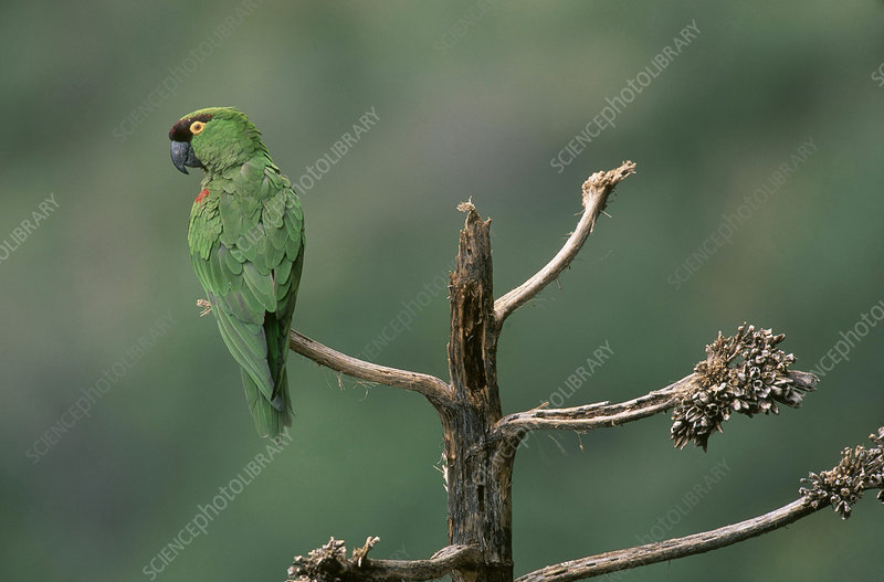 Maroon-fronted Parrot, Mexico