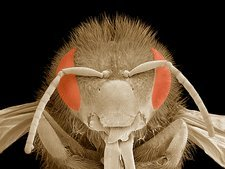 Honey bee head, SEM