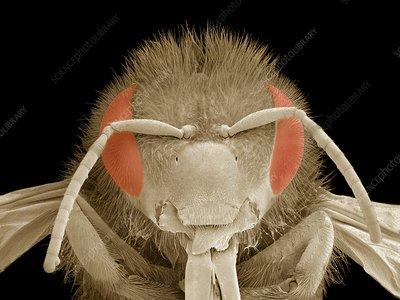 Honey bee head, SEM