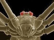 Daddy long legs spider, SEM