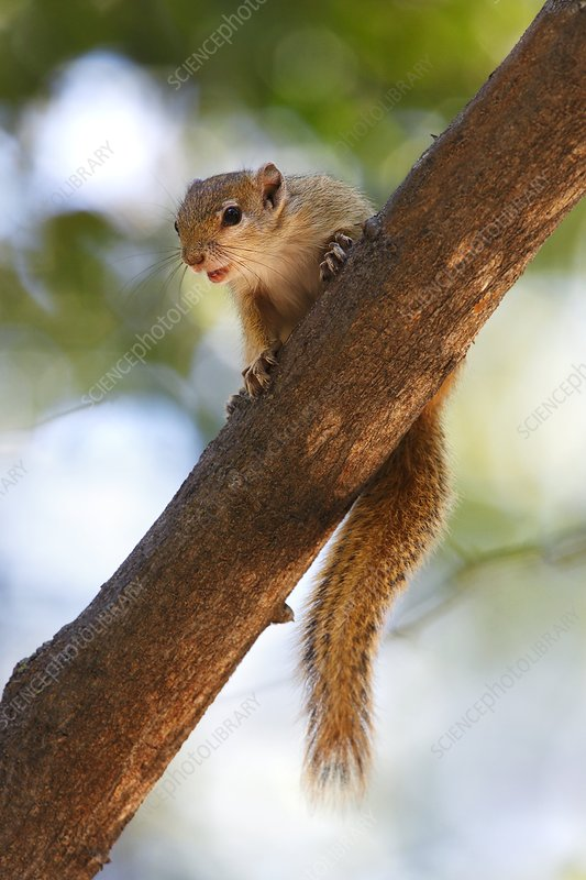 An African Tree Squirrel