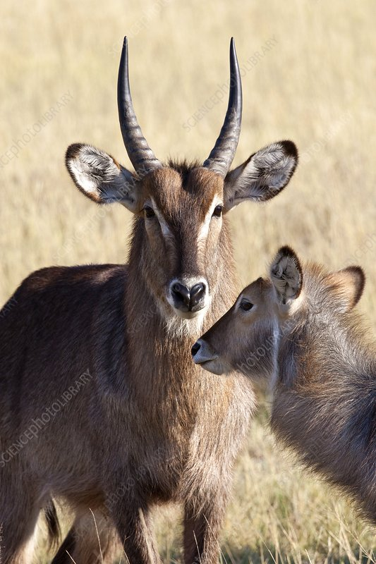 Male and female Waterbuck