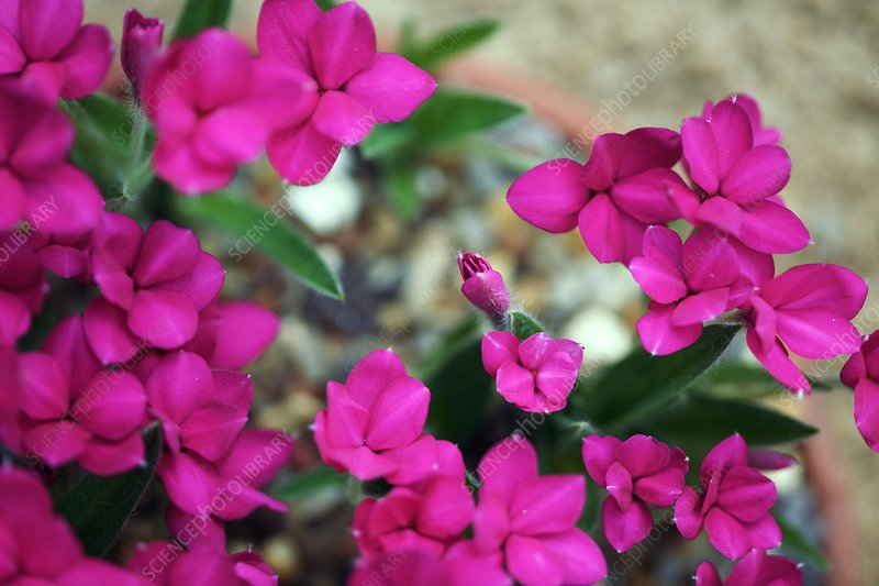 Rhodohypoxis 'Great Scot'