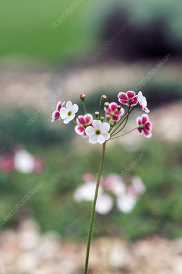 Androsace strigillosa flowers