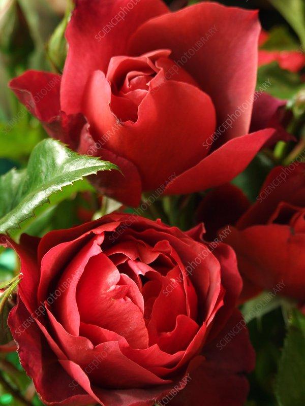 Rose (Rosa 'Hot Chocolate')