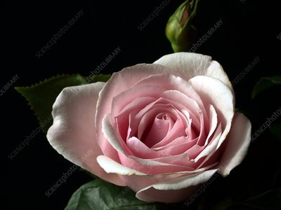 Rose (Rosa 'Chris Beardshaw')