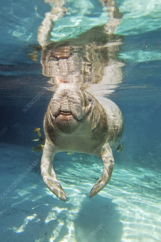 Florida manatee swimming