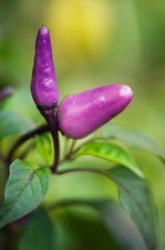Chilli Peppers (Capsicum annuum)
