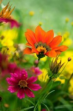 Coreopsis and Gazania