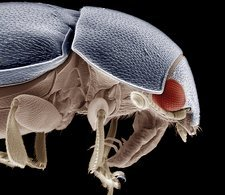 Common pollen beetle, SEM
