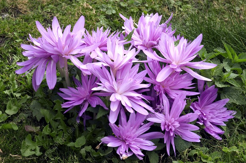 Autumn Crocus (Colchicum 'Waterlily')