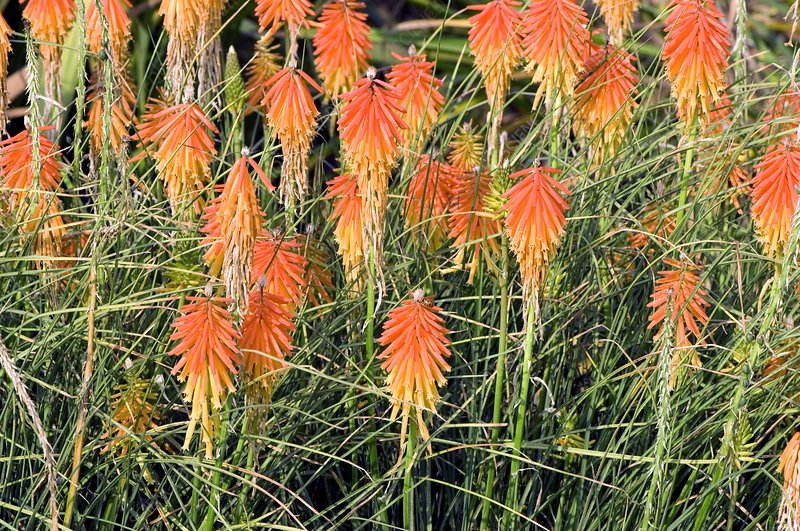 Red Hot Poker (Kniphofia)