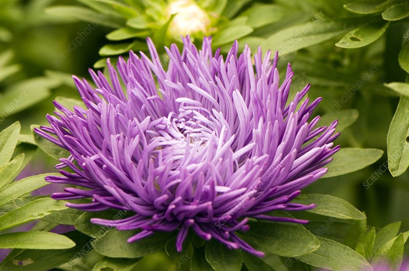 Aster 'Compliment Dark Blue'