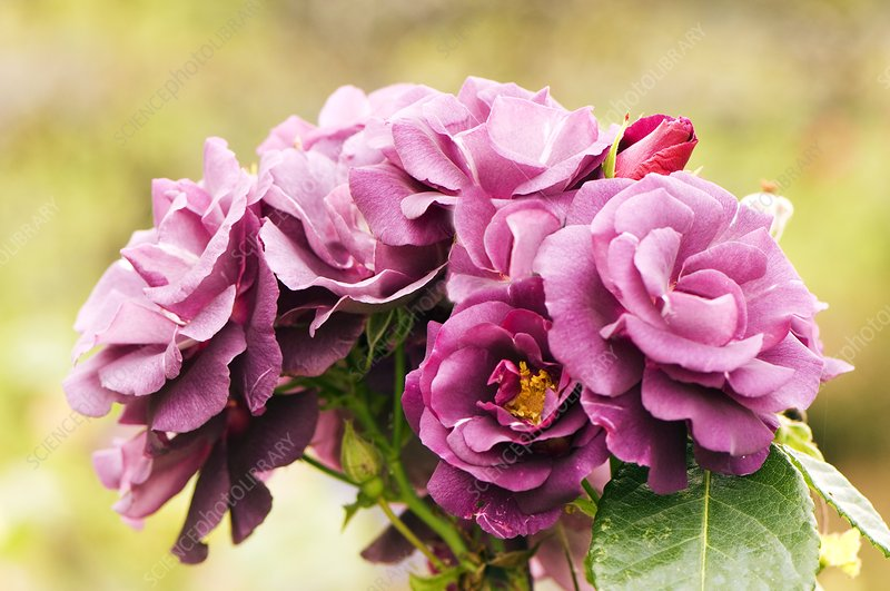 Rose (Rosa 'Rhapsody in Blue')