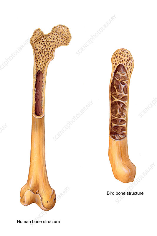 Bird And Human Bone Structure Stock Image C0048088 Science