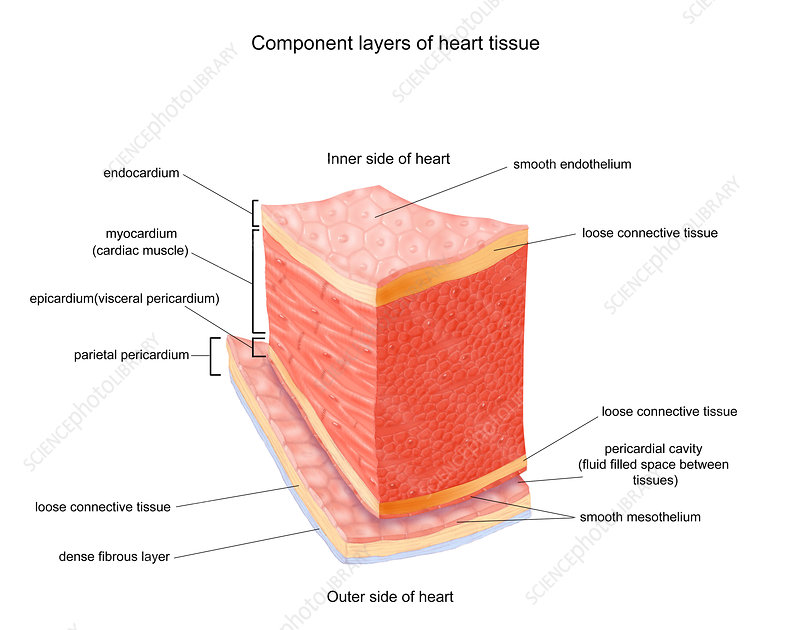 Layers of Heart Tissue