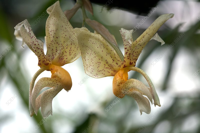 Orchid (Stanhopea assidensis)