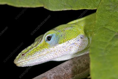 Female green anole