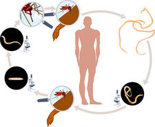 Lymphatic Filariasis Lifecycle