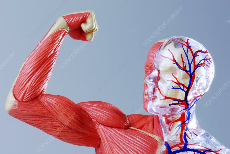 Human body, anatomical model