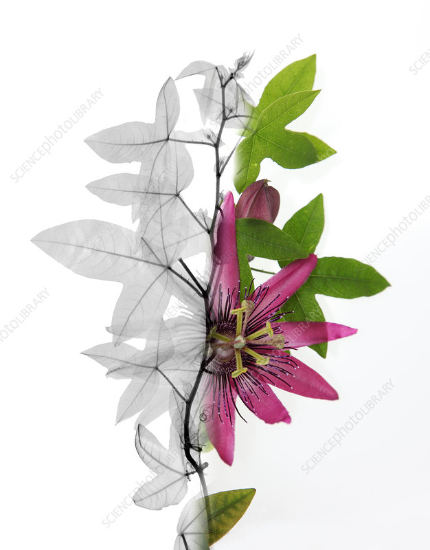 X-ray of a Passion flower