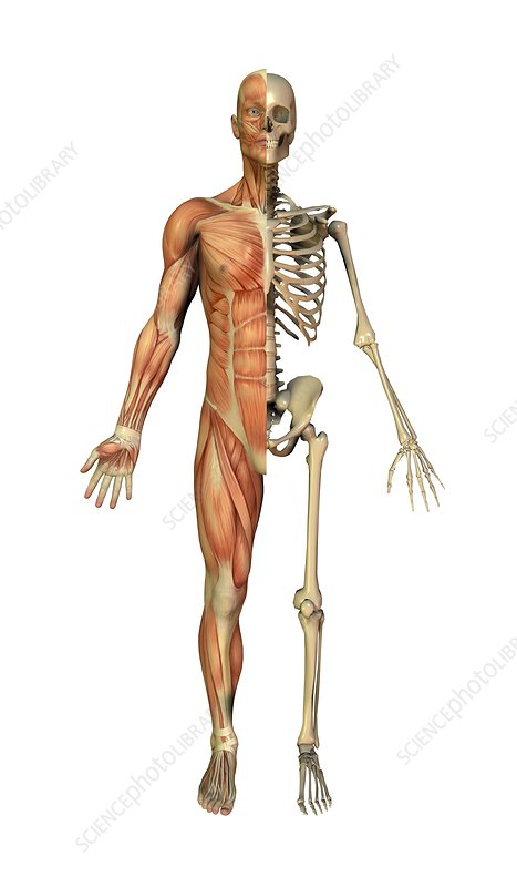 Male Muscles And Skeleton Artwork Stock Image C0049413 Science