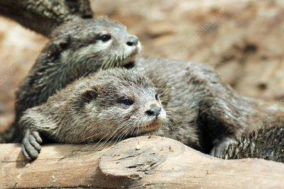 Oriental small-clawed otters
